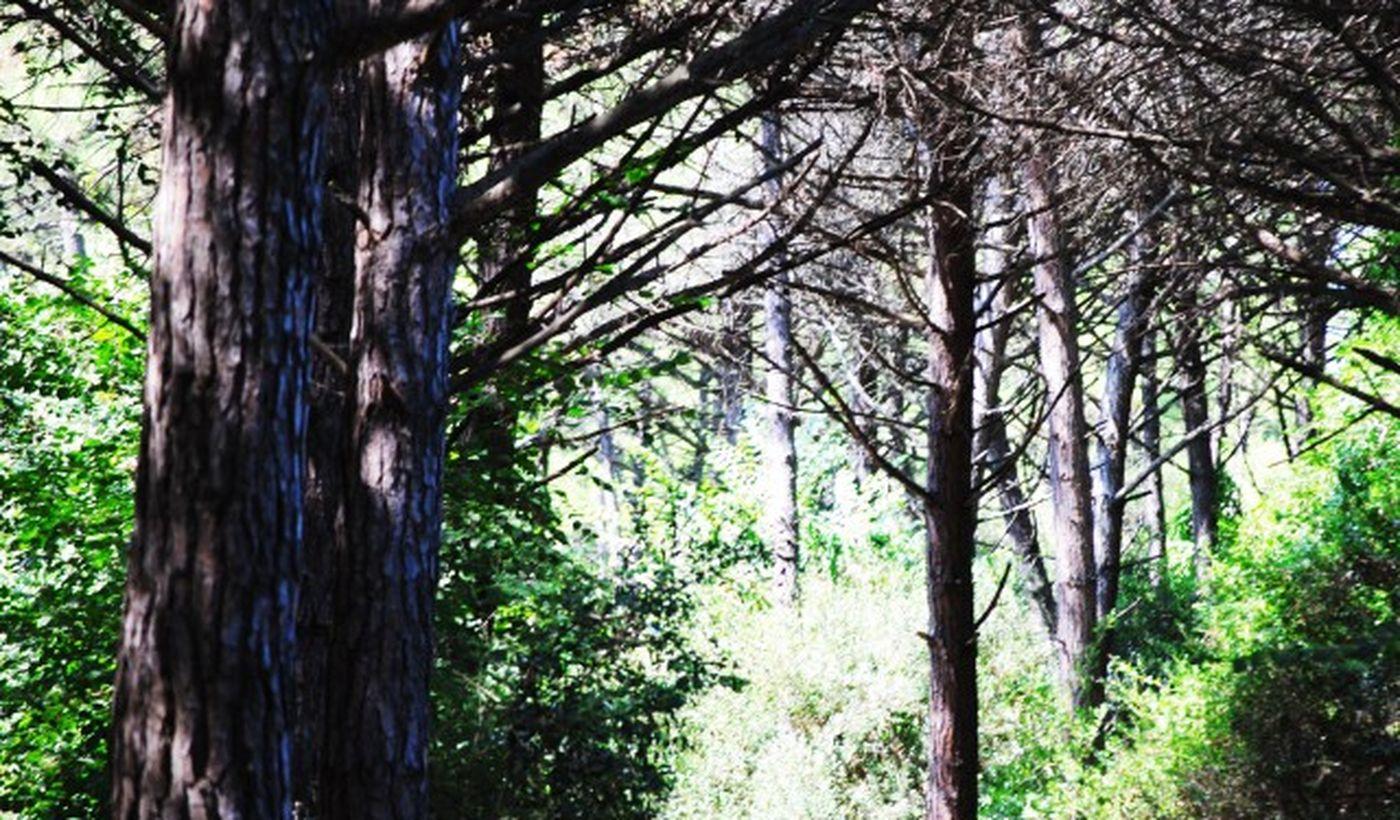 Der Pinienwald