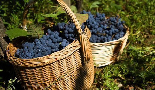 Uva Vino Calabria